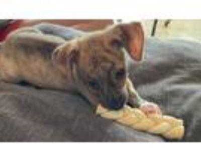 Adopt Romeo a Miniature Dachshund
