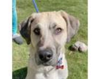Adopt Anthony a Tan/Yellow/Fawn - with White Anatolian Shepherd / Mixed dog in