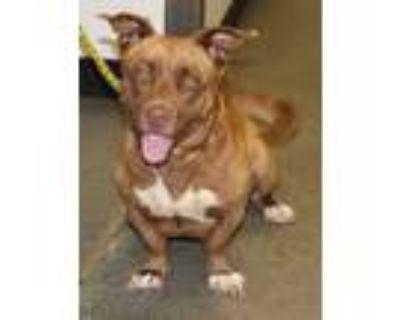 Adopt Pen 170 Lyla Hw+ a Basset Hound, Pit Bull Terrier