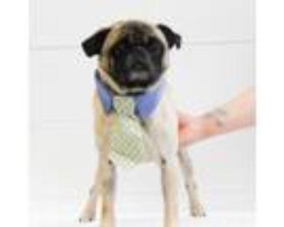 Adopt Porto a Pug / Mixed dog in Gardena, CA (31522364)