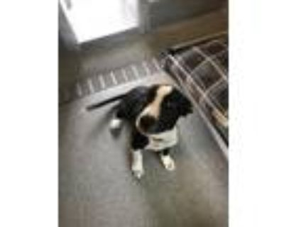 Adopt PEAR a Border Collie, Mixed Breed