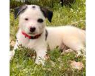 Adopt Quill a White - with Black Border Collie dog in oklahoma city