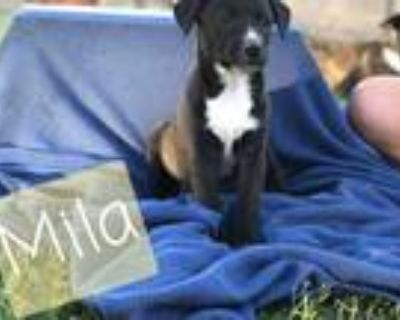 Adopt Mila F a Black - with White Collie / Mixed Breed (Medium) / Mixed dog in