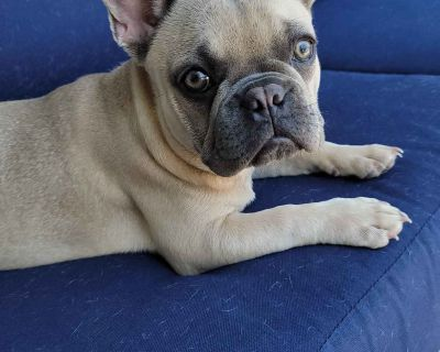 Rare Find Trained AKC Female French Bulldog Puppy in Northern CA