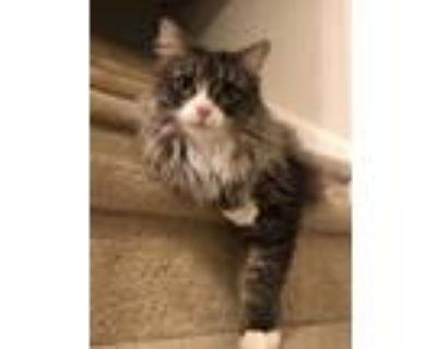 Adopt Lulu a Gray or Blue Maine Coon / Mixed (long coat) cat in Jamison