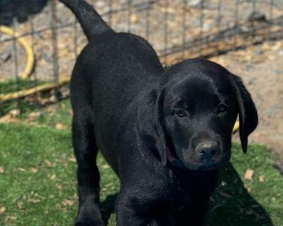 AKC Labrador Retriever Puppies! Blacks/Yellows/Chocolates!