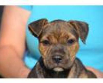 Adopt Reba a Brindle Boxer / Mixed dog in Chester Springs, PA (31675147)