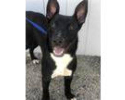 Adopt MIDNIGHT a Black - with White German Shepherd Dog / Labrador Retriever /
