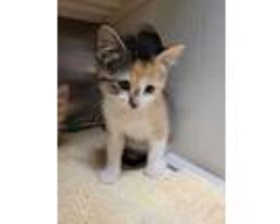 Adopt Mary a White Domestic Shorthair / Domestic Shorthair / Mixed cat in
