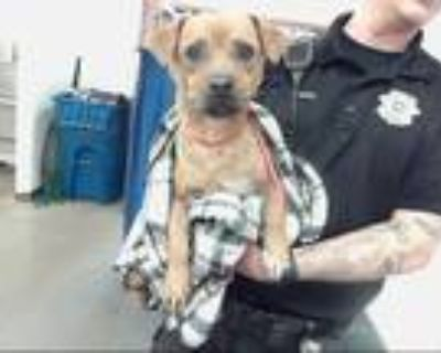 Adopt BENNY a Brown/Chocolate - with White Beagle / Pug / Mixed dog in Phoenix