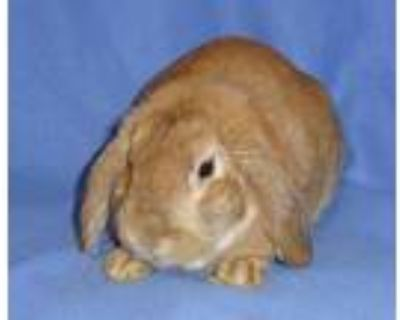 Adopt Mustang a Tan Other/Unknown rabbit in Woburn, MA (32103791)