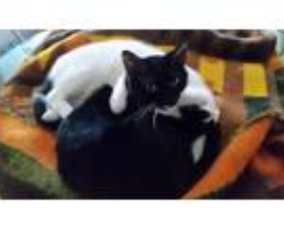 Adopt Jade a White (Mostly) American Shorthair / Mixed (short coat) cat in
