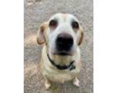 Adopt Barlee a Tan/Yellow/Fawn Labrador Retriever / Mixed dog in West Allis