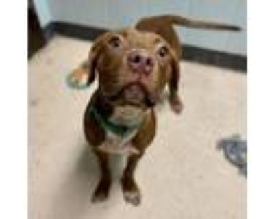 Adopt Kelby a Mixed Breed, Pit Bull Terrier