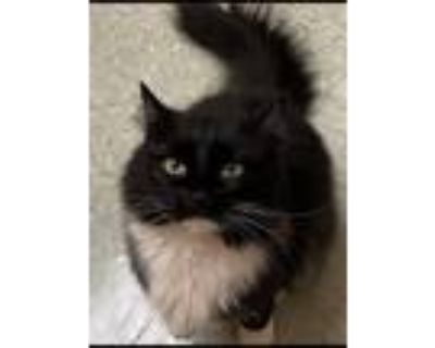 Adopt Holly a Black & White or Tuxedo Maine Coon / Mixed (long coat) cat in