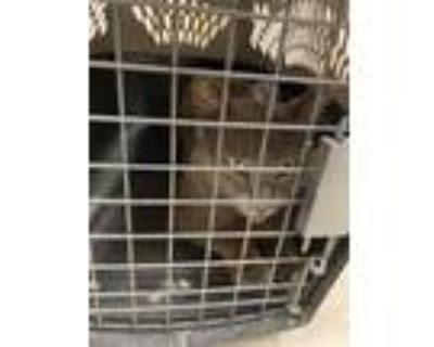 Adopt 47936704 a Gray or Blue Domestic Shorthair / Domestic Shorthair / Mixed