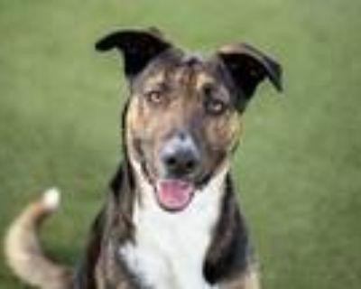 Adopt SHELLY a Tricolor (Tan/Brown & Black & White) German Shepherd Dog / German
