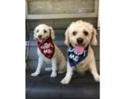 Adopt King and Coco a Poodle