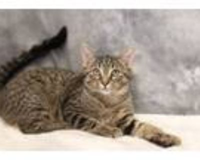 Adopt Lizzy a Domestic Short Hair, Tabby