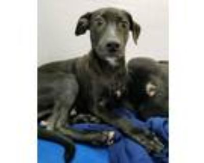 Adopt Rolan a Labrador Retriever / Mixed dog in Fort Myers, FL (32007579)