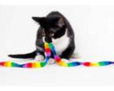 Adopt Bo a All Black Domestic Shorthair / Domestic Shorthair / Mixed cat in
