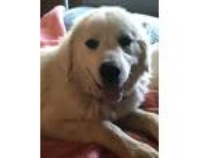 Adopt Ariel a Great Pyrenees