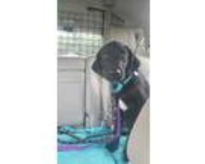 Adopt London a Black Labrador Retriever