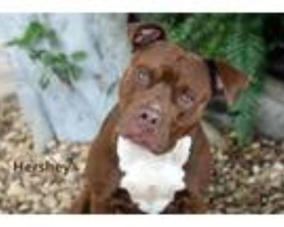 Adopt HERSHEY a Pit Bull Terrier, Mixed Breed