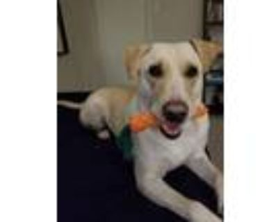 Adopt Astro a Yellow Labrador Retriever