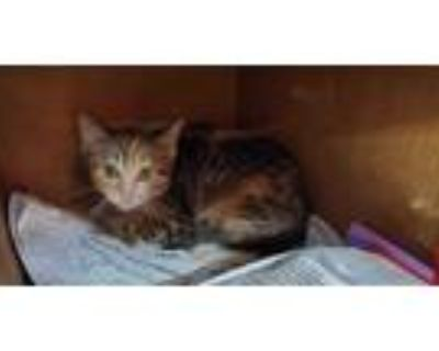 Adopt a Brown Tabby Domestic Shorthair / Mixed (short coat) cat in Louisville