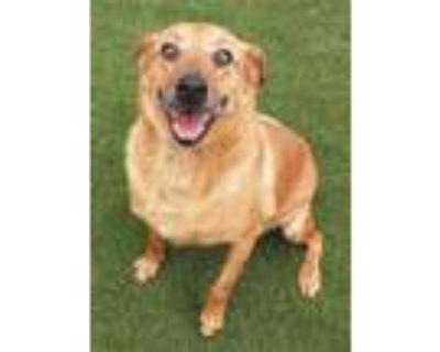 Adopt Jojo a Australian Cattle Dog / Blue Heeler, Mixed Breed