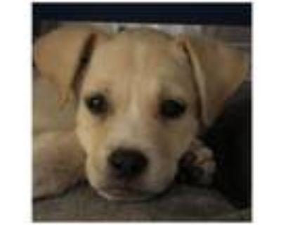 Adopt Woody a Retriever, Yellow Labrador Retriever