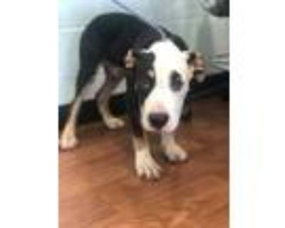 Adopt 071421 Almond a Black American Pit Bull Terrier / Mixed dog in Baton