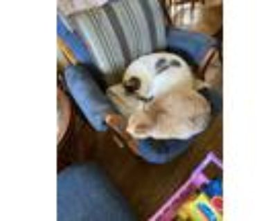 Adopt Gracie and Clancy a Black & White or Tuxedo American Shorthair / Mixed