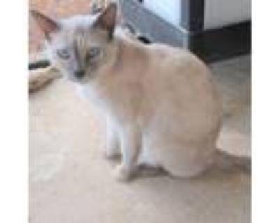 Adopt Sally a Domestic Short Hair, Siamese