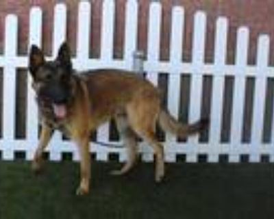 Adopt PABLO a Brown/Chocolate - with Black Belgian Malinois / Mixed dog in