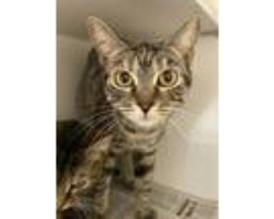 Adopt Smacks a Brown Tabby Domestic Shorthair (short coat) cat in Newport