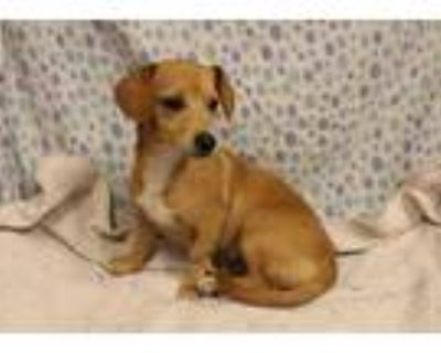 Adopt a Brown/Chocolate - with White Dachshund / Mixed dog in Modesto