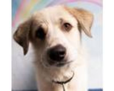 Adopt Wesley Fizz a Great Pyrenees