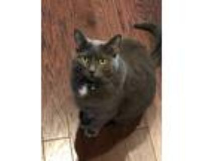 Adopt Mia a Gray or Blue Domestic Mediumhair / Mixed cat in Flowery Branch