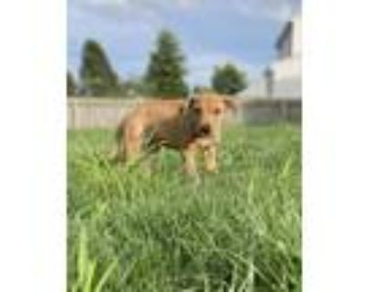 Adopt Lola Bunny a Pit Bull Terrier