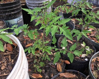 Large big boy tomatoe plants