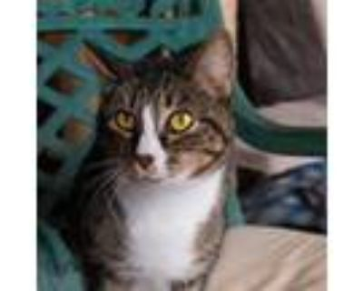 Adopt Millie a Gray or Blue (Mostly) American Shorthair / Mixed (medium coat)
