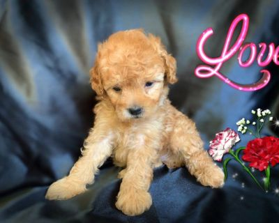 PUREBRED RED POODLE PUPPIES ! 831-222-0106