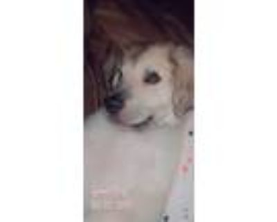 Adopt Buddy a Brown/Chocolate - with White Great Pyrenees / Great Pyrenees /