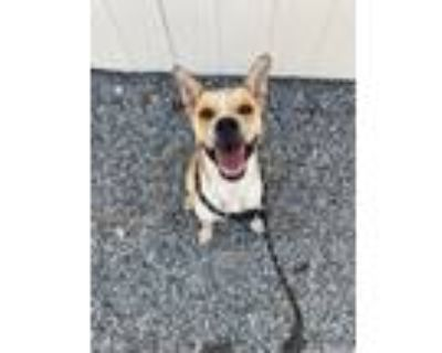 Adopt Golden Nugget a Boxer, Cattle Dog