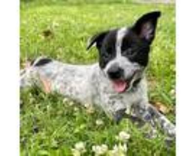 Adopt Rocket a White - with Black Border Collie dog in oklahoma city