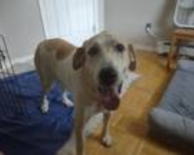 Adopt Molly a White - with Red, Golden, Orange or Chestnut Great Pyrenees /