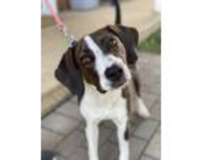 Adopt Bug a Brown/Chocolate - with White Hound (Unknown Type) / Labrador