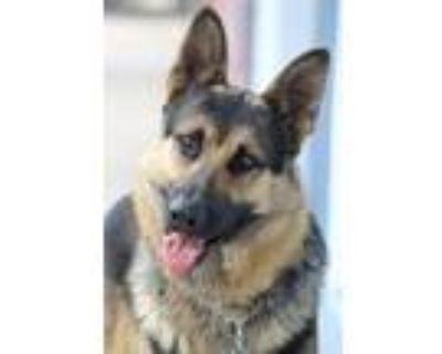 Adopt Bo von Bosau a Black - with Tan, Yellow or Fawn German Shepherd Dog /